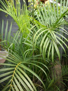 Palem Kuning (Chrysalidocarpus lutescens)