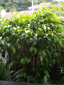 Beringin (Ficus Benjamina)
